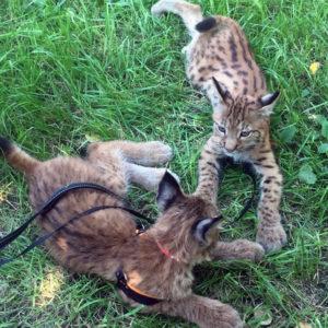Lynx kittens for sale