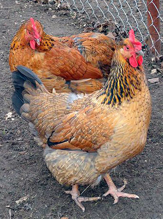 Chickens Kuchynski anniversary, Adler silver