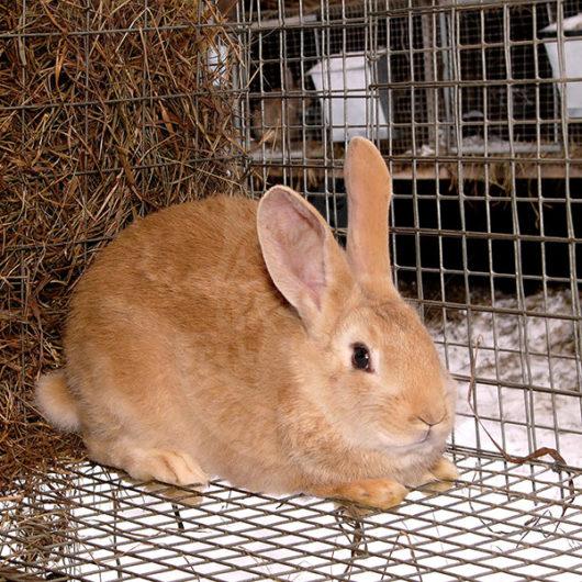 Продажа молодняка кролика